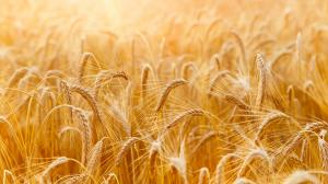 Germogli di grano | Una vera bomba di sostanze nutritive che protegge la salute.