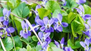 Violette - détox par une fleur printanière