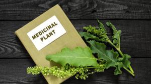 Štiavec tupolistý - obľúbená liečivá rastlina indiánov