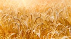 Pšeničné klíčky | Živinová bomba na ochranu zdraví